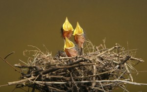 the-chicks-nest-starvation